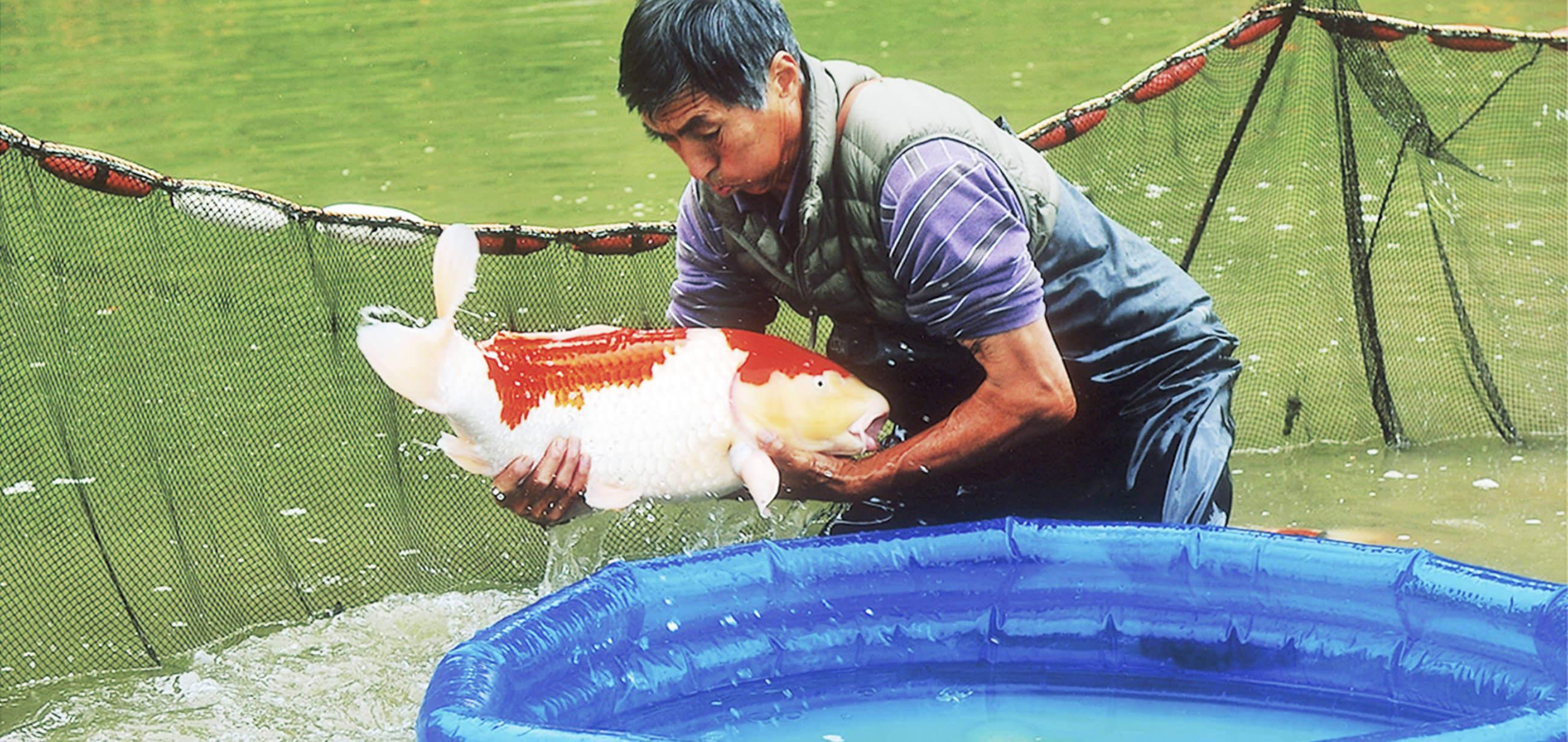 【写真】錦鯉