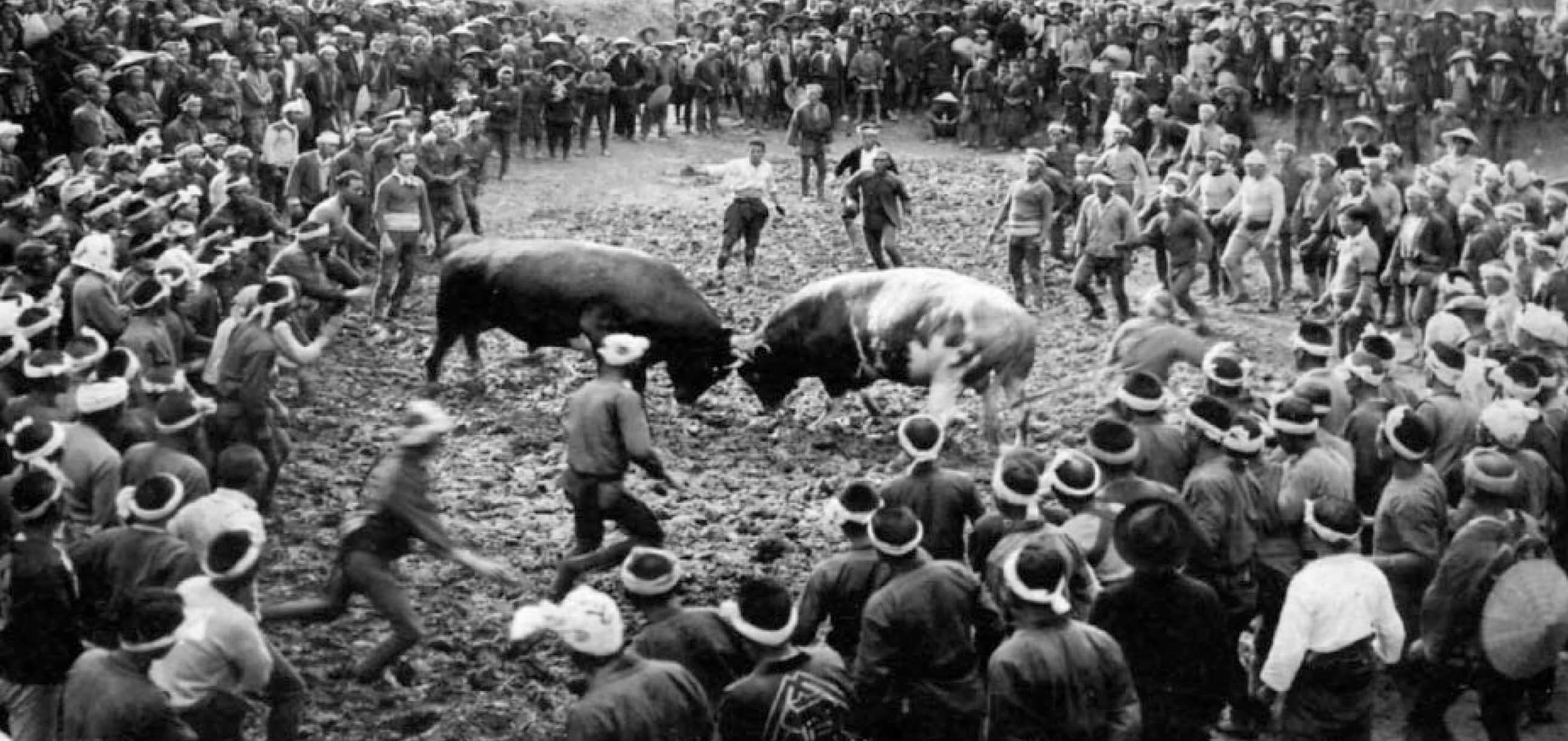 【写真】昭和初期の牛の角突き
